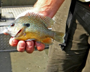 Long-ear Sunfish popular quarry for summer anglers