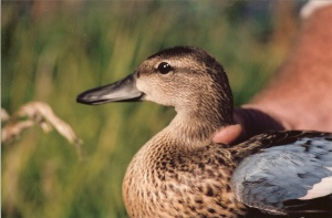 Blue Wing Teal 0004