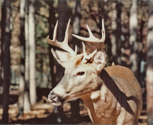 IL Whitetail 0052a