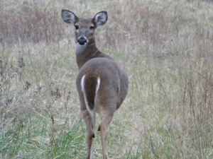 Whitetail Doe 0001