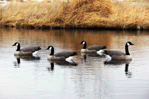 Modern decoys resemble live birds.