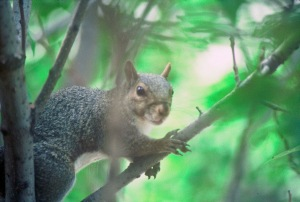 Snug in a leafy treetop canopy, squirrels present a challenging quarry for the early season hunter.