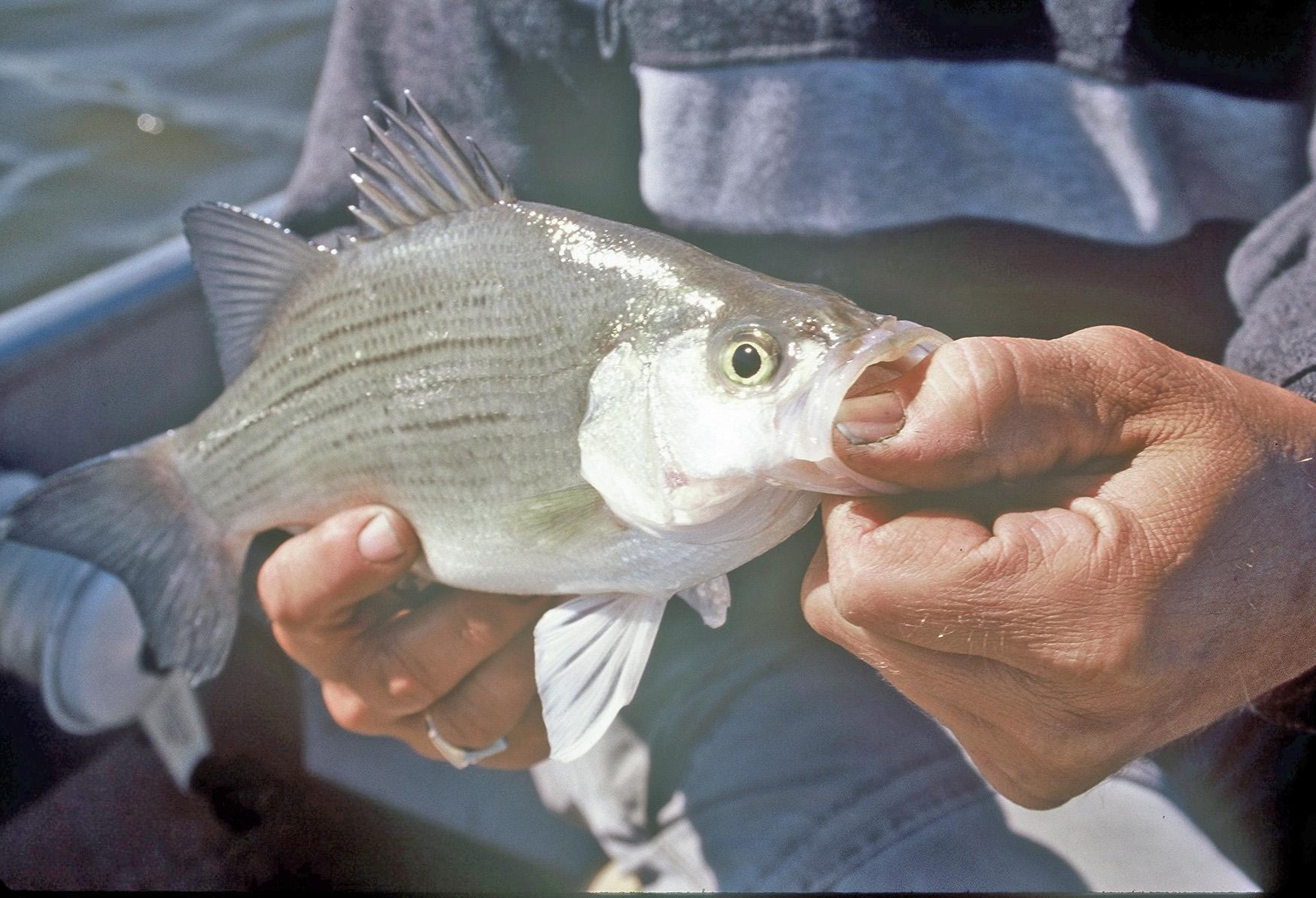 Freshwater fishing don gasaway 39 s blog for White bass fishing