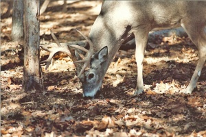 IL Whitetail 0000