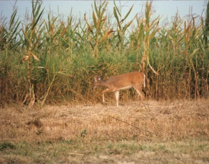 IL Whitetail 0009