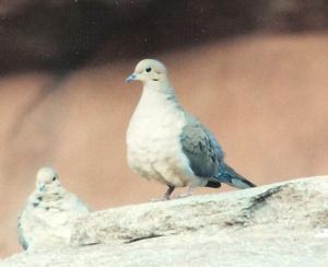 dove-0034