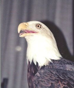 eagle-0008